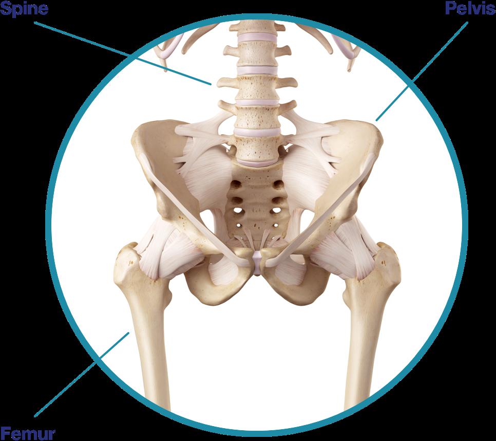 An image of pelvis